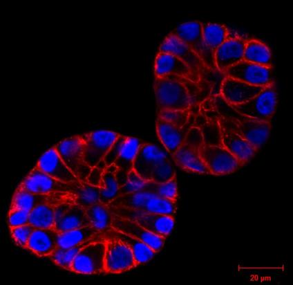 Spirochrome活细胞成像荧光探针.png